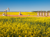 pump jack in a field of yellow flowers